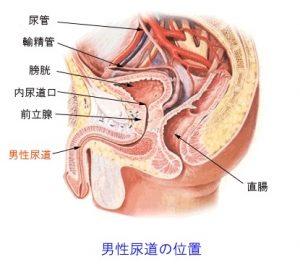男性の尿道を解説した図