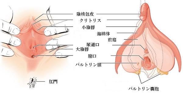 クリトリスの構造を説明した図